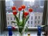 tulipsinmywindow